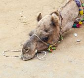 tired camel lying on the sandy ground for a rest poster