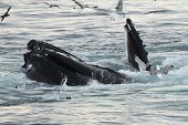 An eating humpback whale in the atlantic ocean. poster