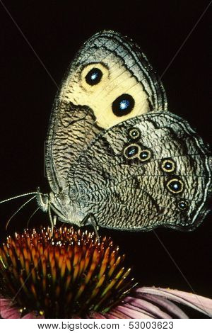 Large Wood Nymph (Cercyonis pegala)