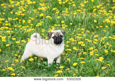 Puppy Of The Pug