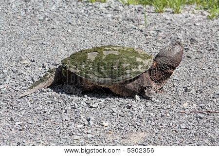 Common Snapping Turtle Tu071
