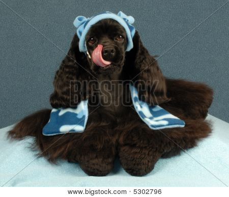 Cocker Spaniel Wearing Hat And Scarf