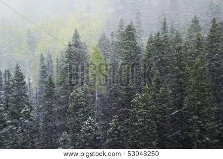 Pine Forest In Snowstorm, Mount Sneffels Range, Colorado