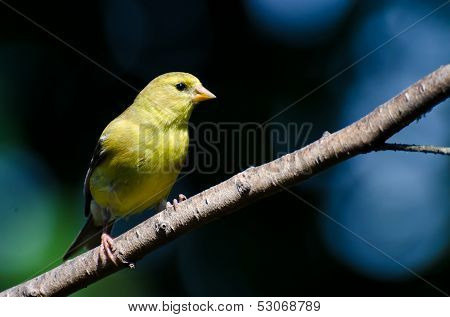 Female American Goldfinch Perched In A Tree
