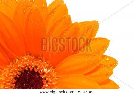 Orange Gerber In Closeup With Aterdrops