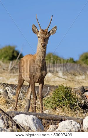 Young Red Deer
