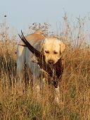 a hunting yellow labrador with a pheasant poster