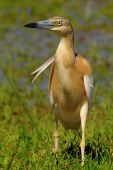 silky heron looking for food in the wind poster
