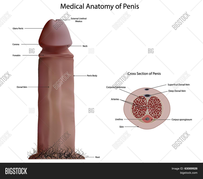Anatomy full penis