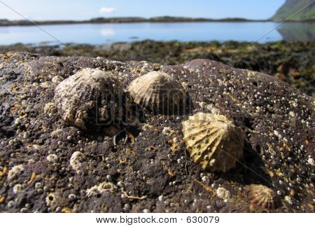 Limpets In Foreground