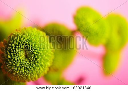 Green chrysanthemum over Magenta Background