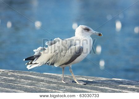 Big Seagull Walks Through The Quays