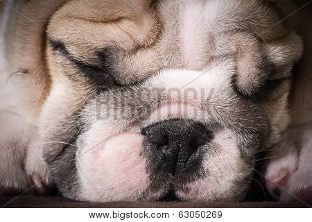 english bulldog puppy sleeping - 8 weeks old