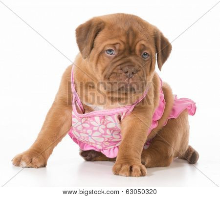 female puppy - dogue de bordeaux wearing pink bikini isolated on white background - 6 weeks old