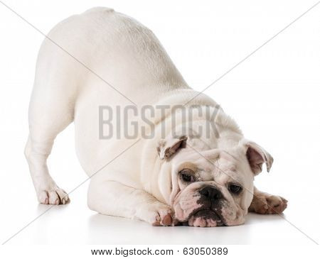 white english bulldog puppy bowing isolated on white background