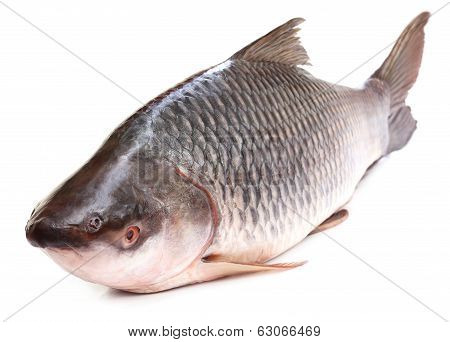 Rohu Or Rohit Fish Of Indian Subcontinent