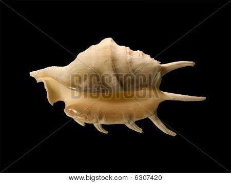 Conch with long spikes isolated on black poster