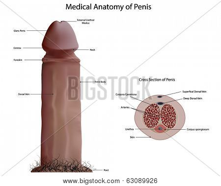 Medical anatomy of penis vector poster