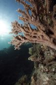 ocean and acropora taken in the red sea. poster