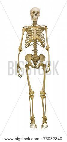 illustration with human skeleton isolated on white background