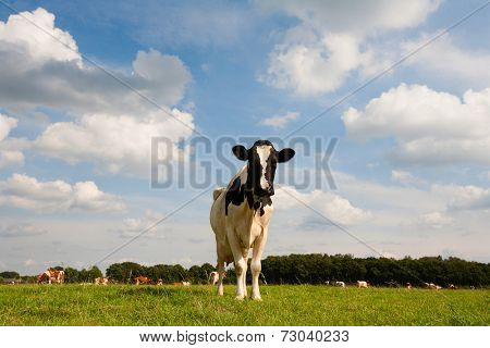 Dutch cow in the meadow