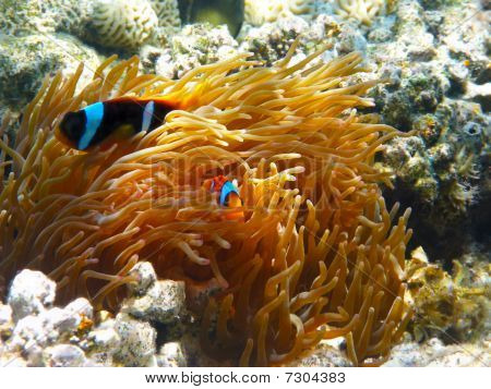 Two-banded Clownfishes