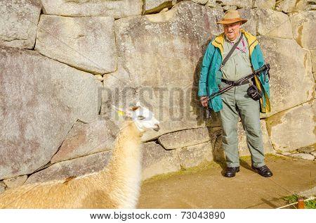 MACHU PICCHU, PERU - MAY 3, 2014 - Senior tourist watches llama in ruins