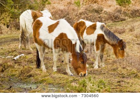 A Family Of Wild New Forest Ponies