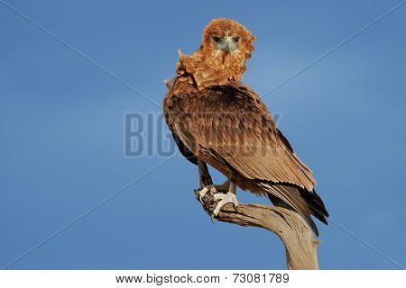 Immature Bateleur eagle (Terathopius ecaudatus) perched on a branch, Kalahari, South Africa