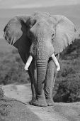 Male African Elephant portrait poster