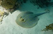 Blue spotted Stingray in the Red Sea, Egypt poster