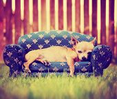 a cute chihuahua laying on a couch toned with a retro vintage instagram filter poster