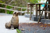 Sea lion on a pedestrian walkway at Galapagos islands poster