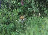 Fox cub standing by bushes starring observing poster
