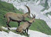 Couple of alpine ibexes sitting on rock poster
