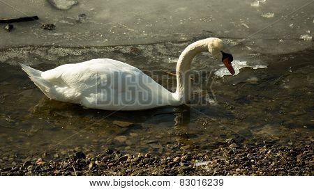 White swan on frozen lake