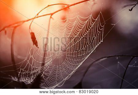 Cobweb In Dew Drops