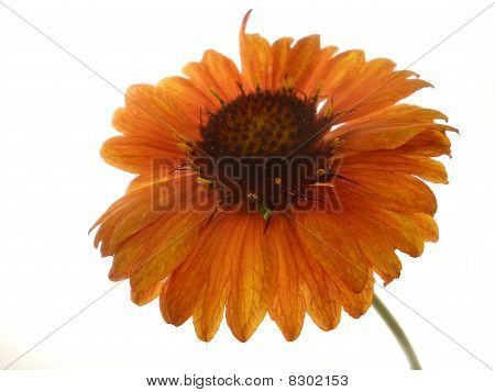 Orange Flower On The Isolate White Background