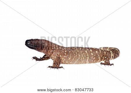 Venomous Beaded lizard, Heloderma horridum, isolated on white background poster