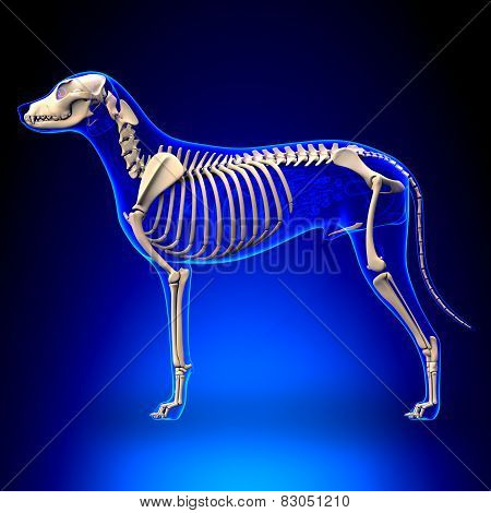 Dog Skeleton - Canis Lupus Familiaris Anatomy - Side View