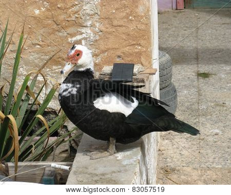 A muscovy duck on a wall