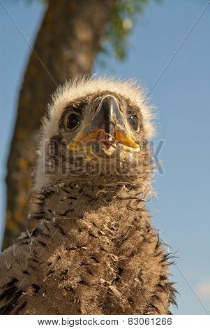The Eaglet