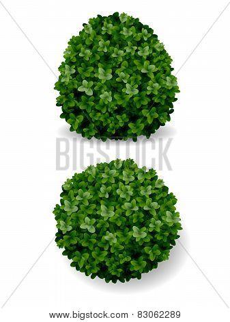 Boxwood bush decorative