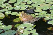 Frog on a lilly pad poster