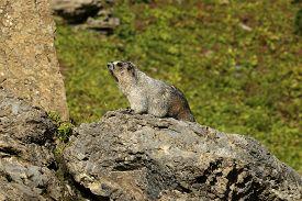 Hoary Marmot On A Rock