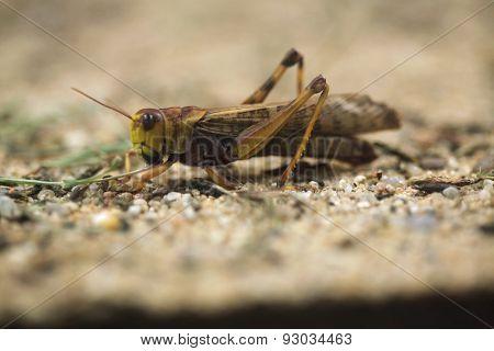 Migratory locust (Locusta migratoria). Wildlife animal.