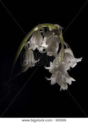 White Bluebell Flower
