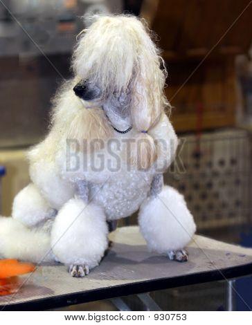 Dog Show Poodle