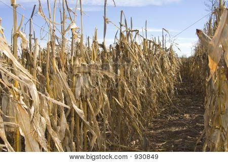 Corn Harvest Time