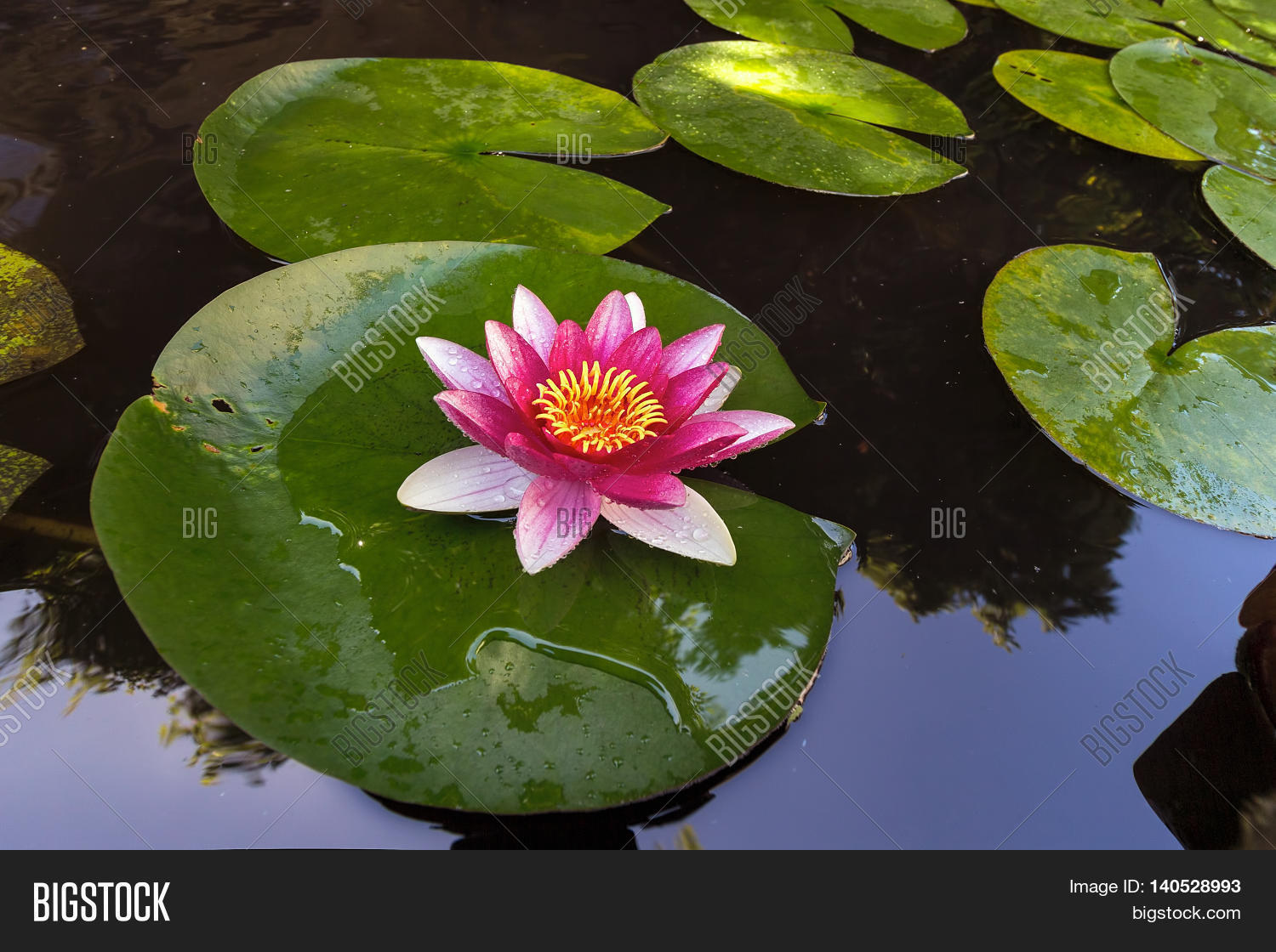 Pink water lily image photo free trial bigstock pink water lily flowers in bloom with lilypad in garden backyard pond izmirmasajfo
